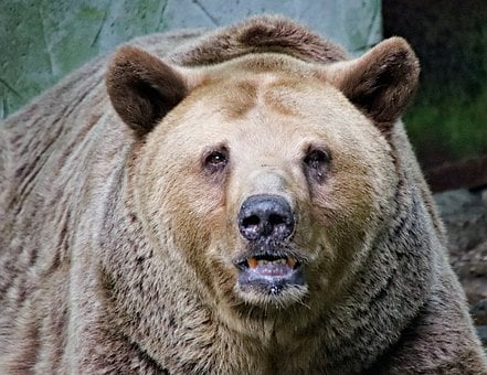 Bear, Grizzly, Portrait, Head, View, Old, Mammal