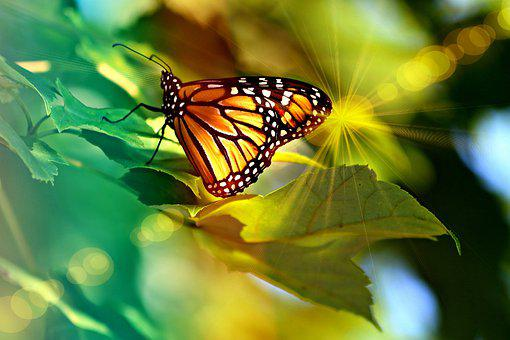 Monarch, Butterfly, Light, Bright, Insect, Nature