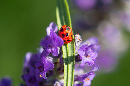 Ladybug, Macro, Nature, Insect, Red, Spring