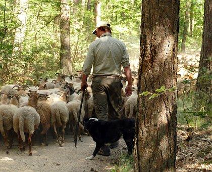 Sheep, Herd, Shepherd, Dog, Send, Lead, Forest, Food
