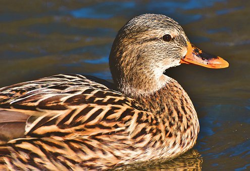 Mallard, Duck, Water Bird, Duck Bird, Poultry, Bird