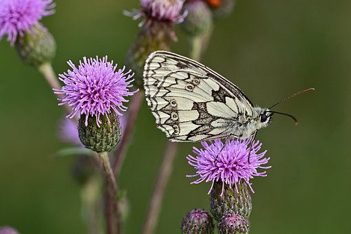 Checkered Butterfly, Thistle, Garden, Nature, Blossom