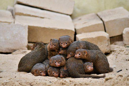 Dwarf Mongooses, Zoo, Emmen, Animal, Nature, Cute