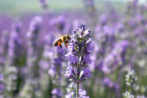 Lavender, Nature, Bee, Animal, Summer, Garden, Purple