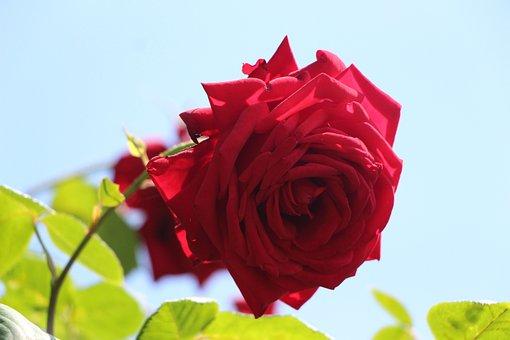 Rose, Flower, Nature, Romantic, Love, Red, Rose Bloom