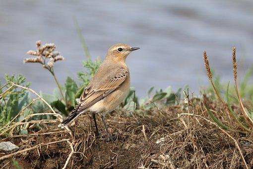 Wheatear, Bird, Female, Nature