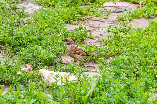 Birds, Sparrow, Animals, Nature, Plumage, Pen, Wing