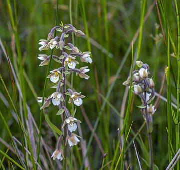 Marsh-helleborine, Orchid, Summer, Botany, Petal