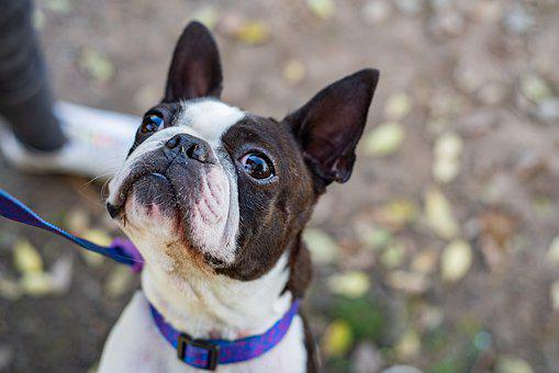 Pet, Dog, Funny, Bostonterrier, Love, Animal, Puppy