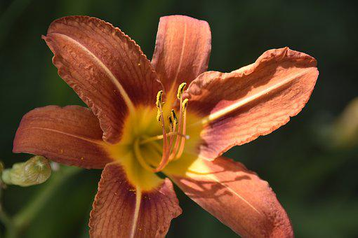 Flower, Flower Lily, Lily Orange Color, Pistil, Stamens