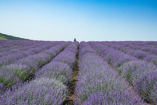 Blooming Lavender, Summer, Purple, Garden, Plant