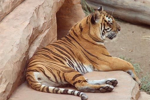 Tiger, Panthera Tigris, Big Cat, Predator, Striped