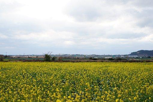 Rapeseed, Rape Flowers, Yellow, Flowers, Plants