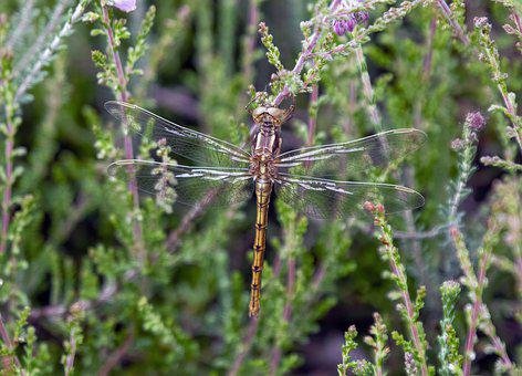 Keeled-skimmer, Female, Dragonfly, Resting, Insect