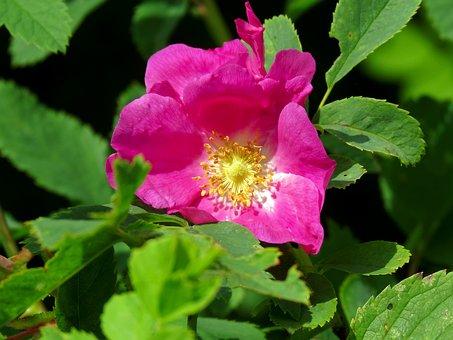 Rose Hip, Flower, Pink, Flora, Nature, Bloom, Roses