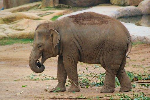 Slůně, Elephant, Indian, Cub, Safari, Mammal, Pachyderm