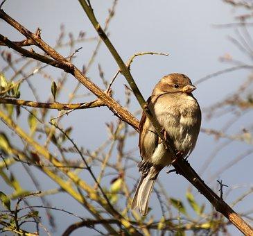 Sparrow, Bird, Perched, Tree, Winter, Garden, Nature