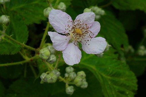 Bramenbloesem, Flower, Bloom, Spring, Blossom