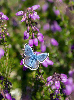 Silver-studded-blue, Butterfly, Nature, Insect, Summer