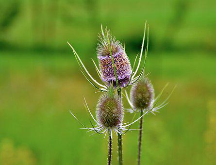 Thistle, Thistles, Flower, Violet, Prickly, Summer