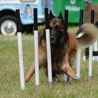 Agility, Dog, Belgian Shepherd, Tervuren, Weaves, Pet