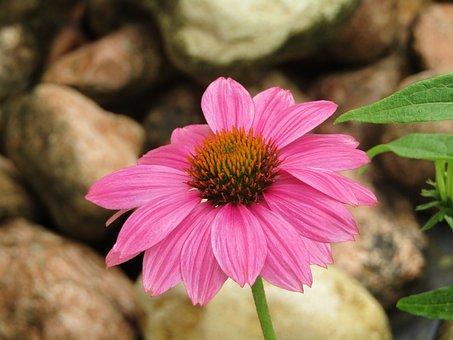 Echinacea, Coneflower, Translucent Sonnenhut, Ruby Star