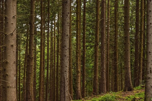 Forest, Trees, Pine, Nature, Landscape, Scenic, Wood