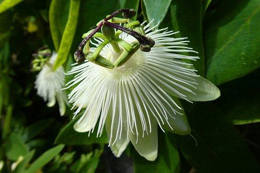 Passion Flower, Bloom, Flower, White, Garden, Exotic