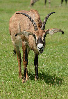 Roan, Antelope, Graze, Grass, Wildlife, Park, Horns