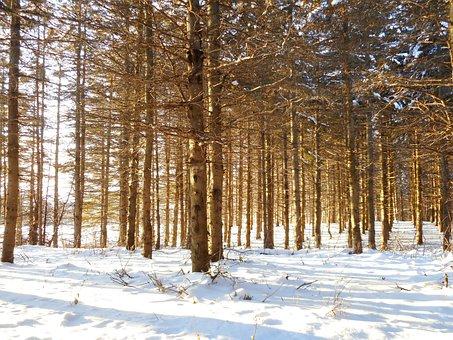 Trees, Landscape, Winter, Pine, Snow, Forest