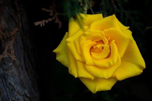 Rosa, Yellow, Nature, Plant, Flower, Garden, Roses