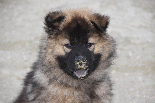Dog, Young Bitch, Dog Eurasier, Eurasier, Female