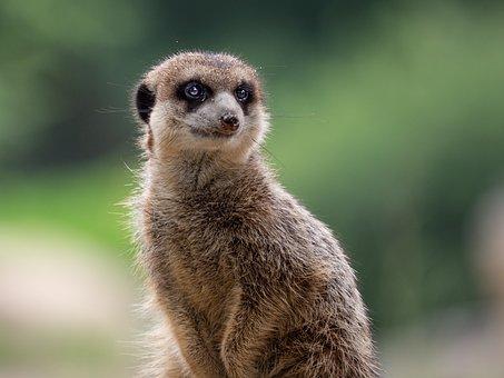 Meerkat, Africa, Animal, Animal World, Cute, Safari