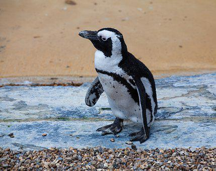 African Penguin, Penguin, Penguin On Beach