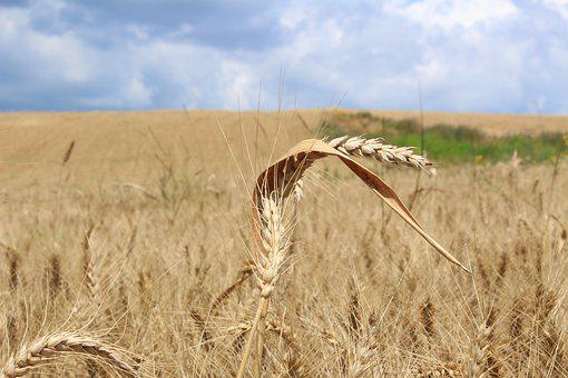 Wheat, Cornfield, Agriculture, Food