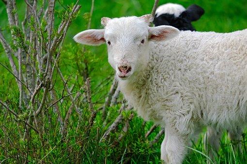 Lamb, Animal, Rural, Nature, Pasture, Animal World