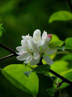 White Flowers, Fruits, Bloom, Apple