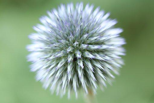 Globe Thistle, Blossom, Bloom, Ball, Echinops, Plant