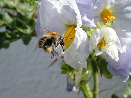 Bee, Hummel, Blossom, Bloom, Weis, Tomato Flower
