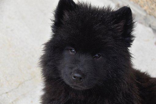 Dog, Puppy, Pup, Dog Eurasier, Bitch Ploublue