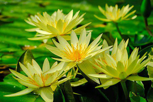 Water Lily, Water, Nature, Pond, Aquatic Plant, Bloom