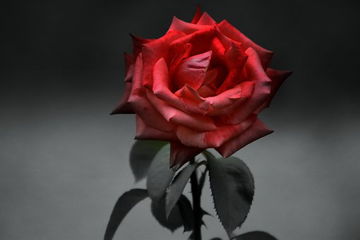 Rose, Red, Black And White, Romantic, Beauty, Blooms At