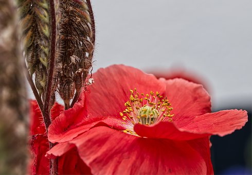 Flower, Blossom, Bloom, Red, Yellow, Poppy, Nature
