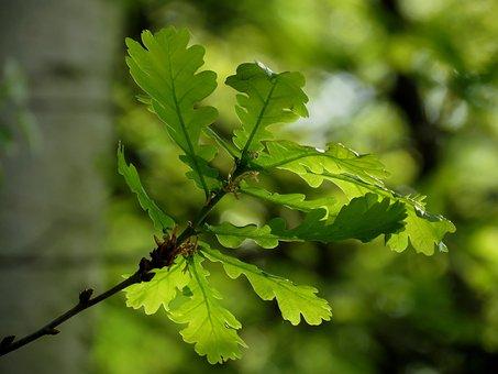 Oak, Leaves, Green, Branch