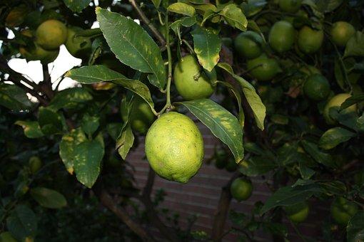 Lemon, Tree, Garden, Citrus, Nature, Summer, Flower