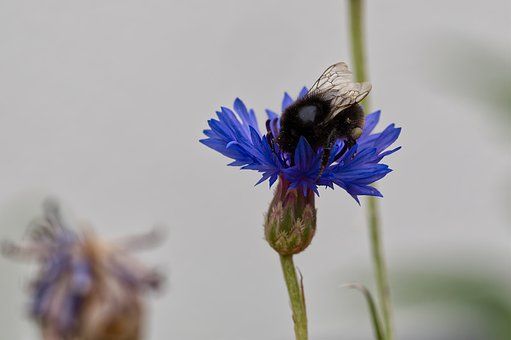 Flower, Blossom, Bloom, Cornflower, Hummel, Insect