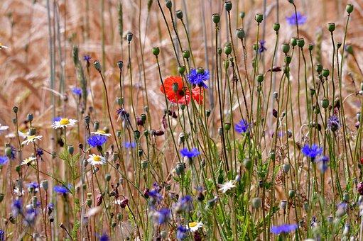 Field Flowers, Cornflowers, Poppies, Chamomile, Grasses