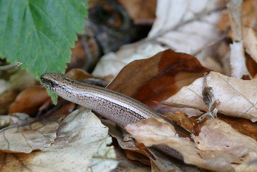 Slow Worm, Lizard, Reptile, Crawl, Nature Conservation
