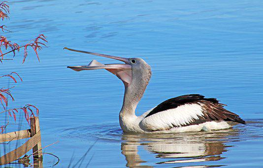 Bird, Pelican, Eating, Lake, Swimming, Reflection