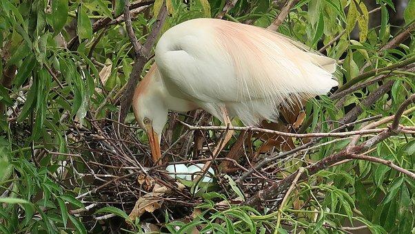 Cattle Egret, Bubulcus Ibis, Egret, Heron, Nest, Eggs